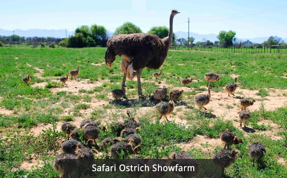 Safari Ostrich Showfarm