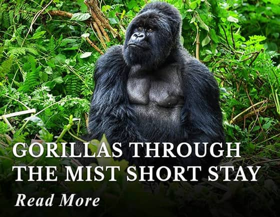 Gorillas through the Mist Short Stay